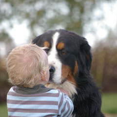 Sagekeep Bernese Mountain Dogs - Dog Breeders