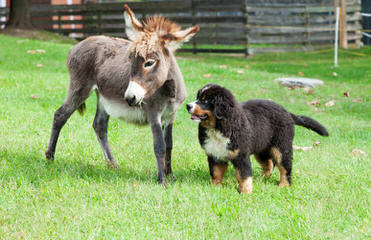 Blueberryhill Bernese Mt dogs - Dog Breeders