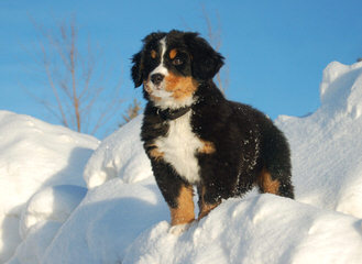 Carriage Estate Bernese Mountain Dogs - Dog Breeders