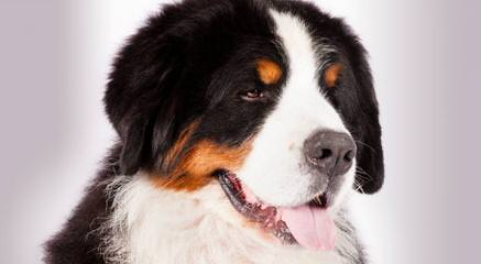 Belinda's Bernese Mountain Dogs - Dog and Puppy Pictures