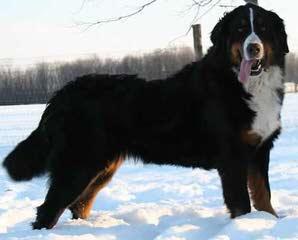 Bernese Mountain - Dog Breeders