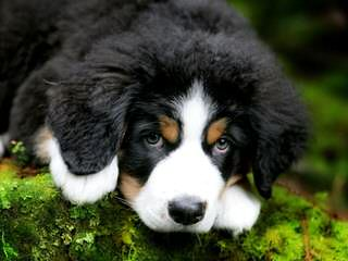 Traverse Hill Bernese Mt Dogs - Dog Breeders