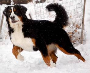 Beautiful Bernese Mountain Dog Boxers - Dog Breeders
