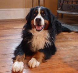 Bernese Family Kennels - Dog Breeders
