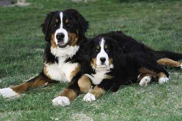 Traverse Hill Bernese Mt Dogs - Dog Breeders