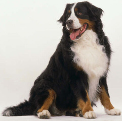 Montreux Bernese Mountain Dogs - Dog Breeders