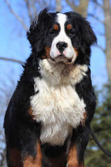Rocky Mtn Sennenhunds - Dog and Puppy Pictures
