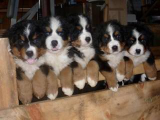 Bernesepups4sale - Dog Breeders