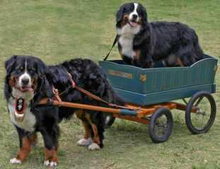 Sagekeep Bernese Mountain Dogs - Dog Breeders