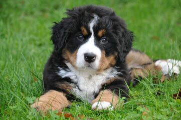 Pawsome Hollow Bernese Mountain Dogs - Dog and Puppy Pictures
