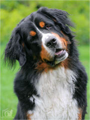 Pawsome Hollow Bernese Mountain Dogs - Dog Breeders