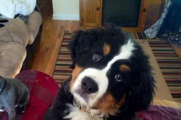 Greater & Bernese Mounatin Dog - Dog and Puppy Pictures
