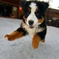 Oleka Bernese Mountain Dogs - Dog Breeders