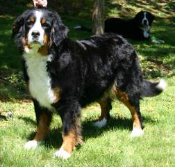 Bernesepups4sale - Dog and Puppy Pictures