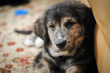 Bernese X Gr. Pyr. Mix Ozark Mtn Dogs - Dog and Puppy Pictures