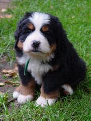 Greater & Bernese Mounatin Dog - Dog Breeders