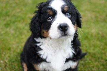 Bernese X Gr. Pyr. Mix Ozark Mtn Dogs - Dog Breeders