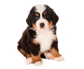 Rocky Mtn Sennenhunds - Dog Breeders