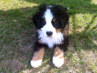 Bernese Family Kennels - Dog Breeders
