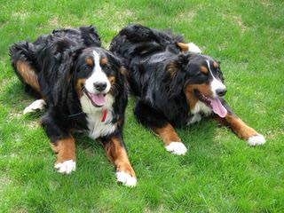Dunnwood BMDs - Dog Breeders