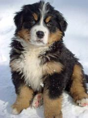 Bernese Mt. Dog Referral - Dog Breeders