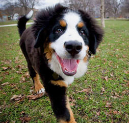 Bernese Mountain Puppies - Dog Breeders
