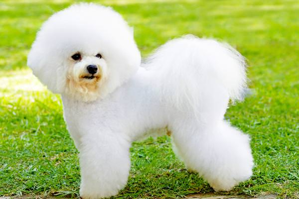 Bichon Frise Dogs and Puppies