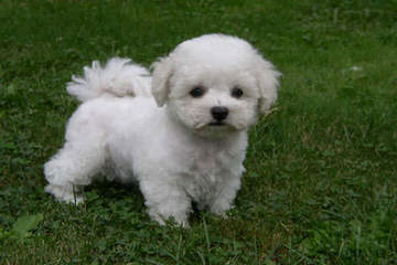 Female Bichon Seeking Male In Oregon - Dog Breeders