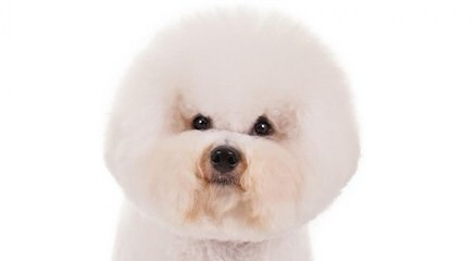Bishon Frise - Dog and Puppy Pictures