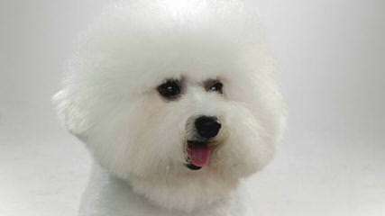 Az Bichon Frise Pups, Cerf - Dog and Puppy Pictures