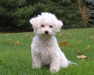 3 Male Shih-Tzu/Bichon Mix Puppies 4 Sale $300 - Dog Breeders