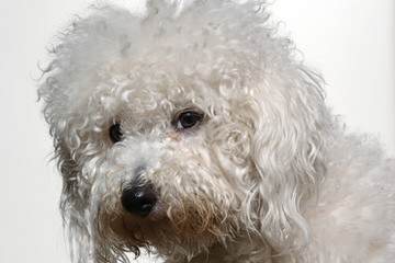 Scarletstrue - Dog Breeders