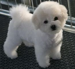 Bichon Lovers - Dog Breeders