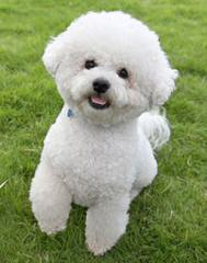 Liza's Bichon - Dog Breeders