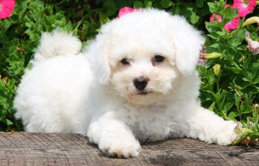 Bichon and Yorkie Lovers - Dog Breeders