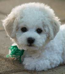 North Country Kennels – Purebred Bichon Frise And Yorkshire Terriers - Dog Breeders
