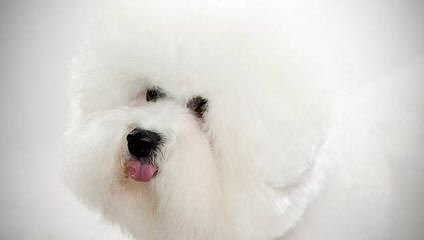 CG's Bichons - Dog and Puppy Pictures