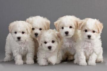 Bichonpoos – Bichons - Dog Breeders