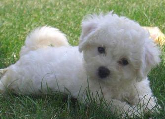 CG's Bichons - Dog Breeders