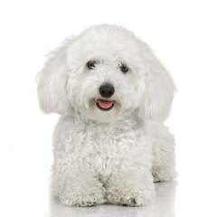 Mary's Bichons-Puppies Available Now - Dog Breeders