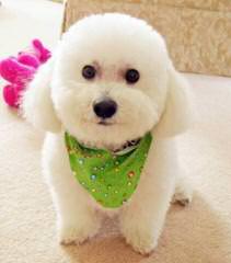 Az Bichon Frise Pups, Cerf - Dog Breeders