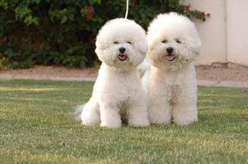 Bichon Friseakc Puppies - Dog Breeders