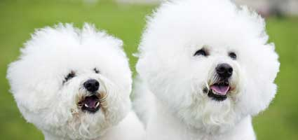 Bichonpoos – Bichons - Dog and Puppy Pictures