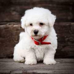 Bishon Frise - Dog Breeders