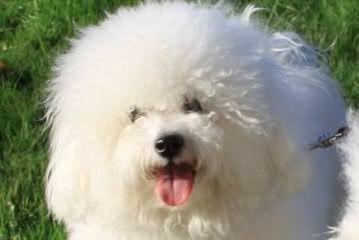 Kathy's white angels - Dog Breeders
