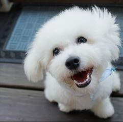 Litter Trained Reg. Bichon Frise Puppies - Dog Breeders