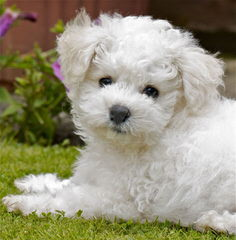 Bichonpoos And Bichons - Dog Breeders