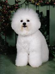 Bichon Frise Akc Puppies - Dog Breeders