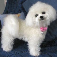 Litter Trained Bichon Pups - Dog Breeders