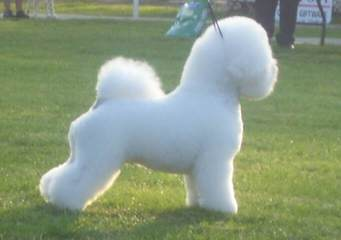 Litter Trained Bichon Pups - Dog Breeders